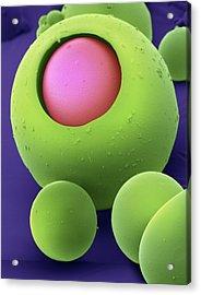 Drug Delivery Microspheres, Sem Acrylic Print by David Mccarthy