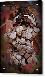 Dry Bloom Acrylic Print by Beverly Hammond
