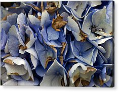 Acrylic Print featuring the photograph Drying Hydrangea by Michael Friedman