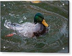 Duck Bathing Series 1 Acrylic Print by Craig Hosterman