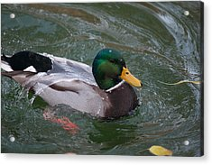 Duck Bathing Series 3 Acrylic Print by Craig Hosterman