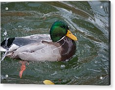 Duck Bathing Series 4 Acrylic Print by Craig Hosterman