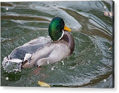 Duck Bathing Series 5 Acrylic Print by Craig Hosterman