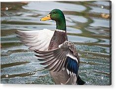 Duck Bathing Series 7 Acrylic Print by Craig Hosterman