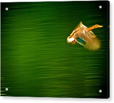 Duck In Motion Acrylic Print