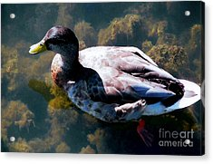 Duck In Transparent Water Acrylic Print by Judy Via-Wolff