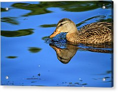 Duck Reflects Acrylic Print by Karol Livote