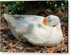 Acrylic Print featuring the photograph Duck Resting by Fotosas Photography