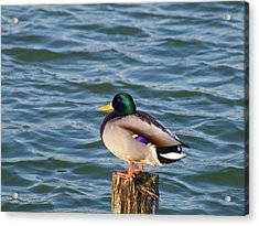 Duck Standing On Stake Acrylic Print by Xstreephoto