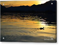 Duck Swimming Acrylic Print