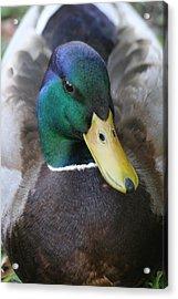 Duckie Acrylic Print by Scott Brown