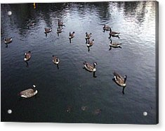 Ducks At Sunset Acrylic Print