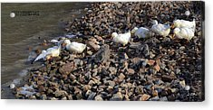 Acrylic Print featuring the photograph Ducks In A Row by Brian Stevens