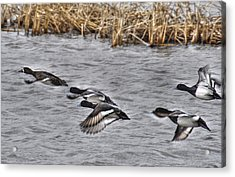 Ducks In Flight Acrylic Print by Janice Adomeit