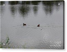Ducks Acrylic Print by Nick