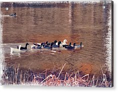 Ducks On Canvas Acrylic Print by Douglas Barnard