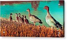 Ducky Family Acrylic Print by Bernard Yong