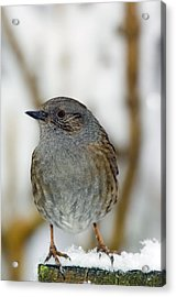 Dunnock Perched On A Garden Fence Acrylic Print by Duncan Shaw