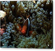 Dusky Anenomefish Acrylic Print