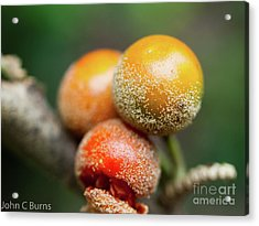 Dusted Berries Acrylic Print