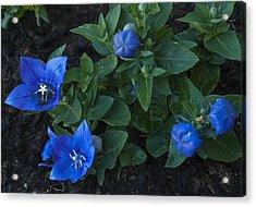 Dwarf Balloon Flower Platycodon Astra Blue 2 Acrylic Print by Steve Purnell