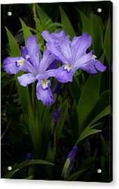 Dwarf Crested Iris Acrylic Print by Rob Travis