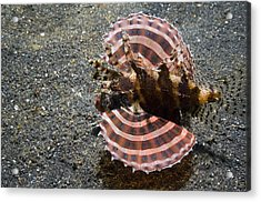 Dwarf Lionfish On The Seabed Acrylic Print by Georgette Douwma