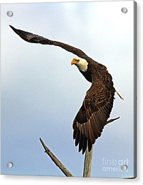Acrylic Print featuring the photograph Eagle Flight-wing Power by Larry Nieland