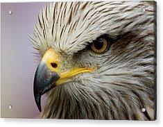 Eagle Acrylic Print by Javier Balseiro