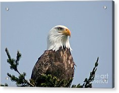 Acrylic Print featuring the photograph Eagle  by Mitch Shindelbower