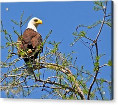 Eagle On Watch Acrylic Print by Kathy Ricca