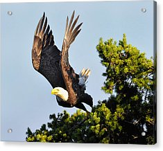 Eagle Takes Off Acrylic Print by Sasse Photo