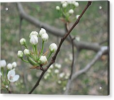 Early Blossoms Acrylic Print by Rebecca Shaw