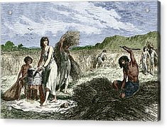 Early Humans Harvesting Crops Acrylic Print by Sheila Terry