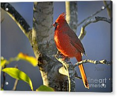 Acrylic Print featuring the photograph Early Morning Cardinal by Nava Thompson