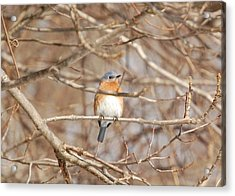 Acrylic Print featuring the photograph Eastern Bluebird by Mary McAvoy