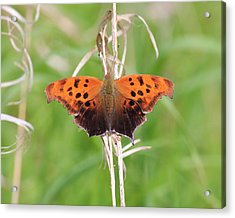 Acrylic Print featuring the photograph Eastern Comma Butterfly by Penny Meyers
