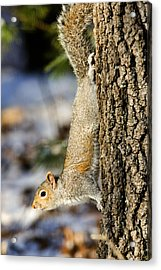 Eastern Gray Squirrel Sciurus Acrylic Print by Tim Laman