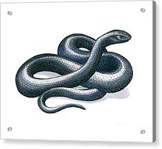 Eastern Indigo Snake Acrylic Print by Anna Bronwyn Foley