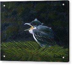 Eastern Kingbird Fledgling Acrylic Print