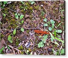 Eastern Newt Juvenile 1 Acrylic Print