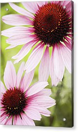 Eastern Purple Cone Flowers Acrylic Print by Dhmig Photography