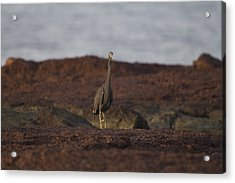 Eastern Reef Egret-dark Morph Acrylic Print by Douglas Barnard