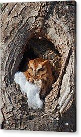 Eastern Screech Owl Acrylic Print