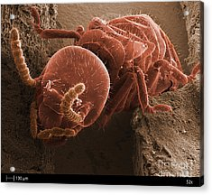 Eastern Subterranean Termite, Sem Acrylic Print by Ted Kinsman