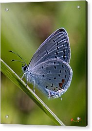 Eastern Tailed-blue Butterfly Din045 Acrylic Print
