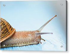 Edible Snail On  Wooden Ground Acrylic Print by Guido Mieth