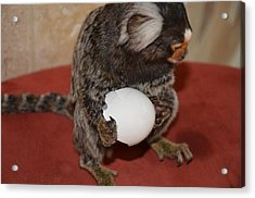 Eggs  Chewy The Marmoset Acrylic Print by Barry R Jones Jr
