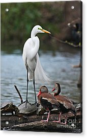 Acrylic Print featuring the photograph Egret - Best Friends by Luana K Perez