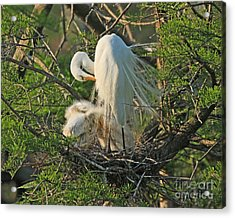 Acrylic Print featuring the photograph Egret - Mother And Baby Egrets by Luana K Perez